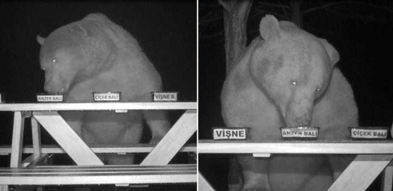 Beekeeper tricks greedy bears into becoming honey tasters after they kept stealing his honey