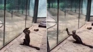Footage captures monkey using sharpened rock to smash through glass at zoo
