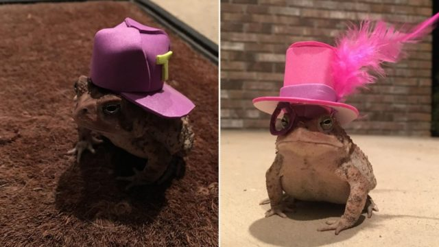 Bloke makes miniature hats for a toad who visits his porch on a daily basis