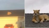 Giant 'cougar' causes panic after appearing on garage roof
