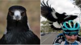 Aussie bike rider dies after trying to avoid swooping magpie