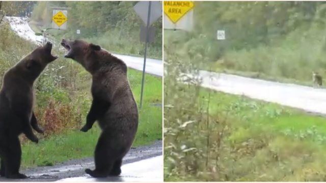 Wolf casually watches on as two bears throw fists on the side of highway