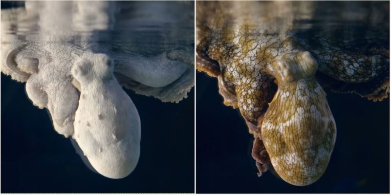 Bloody brilliant video shows sleeping Octopus changing colours while dreaming