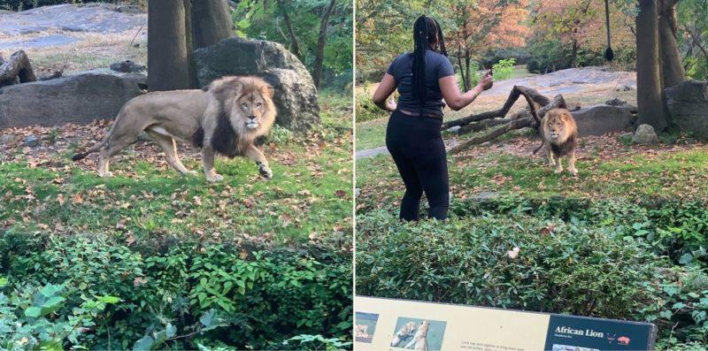 Sheila climbs into Zoo's lion den