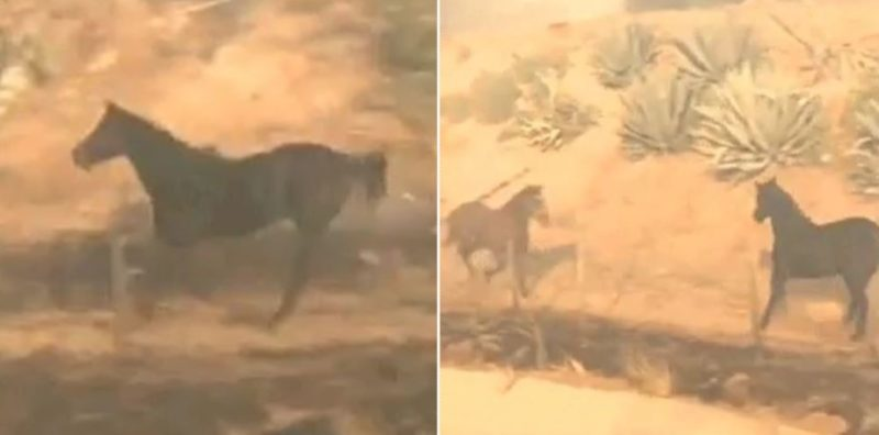 Brave horse runs back into dangerous wildfire to rescue other horses