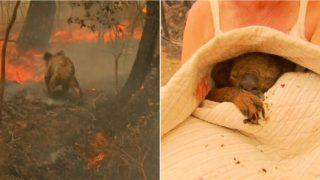 Badass Aussie sheila runs into dangerous bushfire to rescue Koala