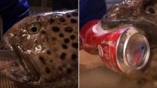 The severed head of a Wolffish can still crush a can of Coke