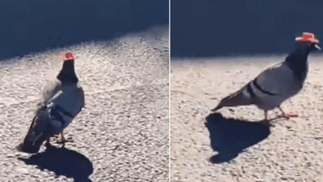 Someone has been putting Cowboy Hats on Pigeons in Las Vegas