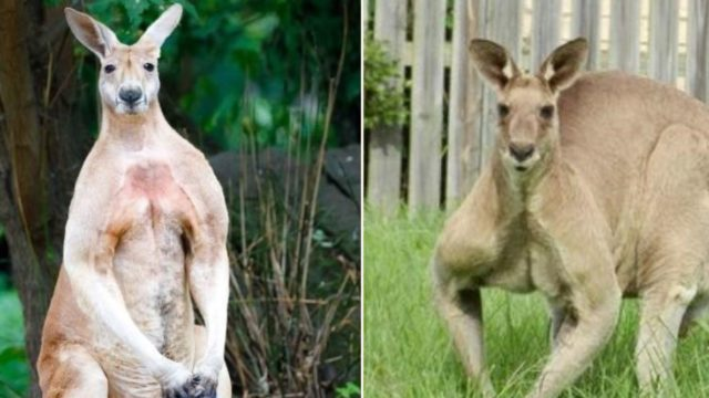F@*k-off big kangaroo runs riot through country town