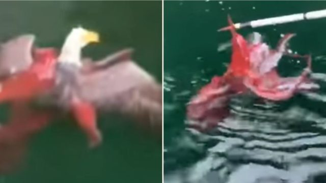 A f@*#en octopus and eagle square off at Canadian fish farm