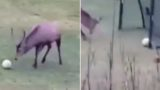 Watch this deer score a goal and celebrate like a bloody pro