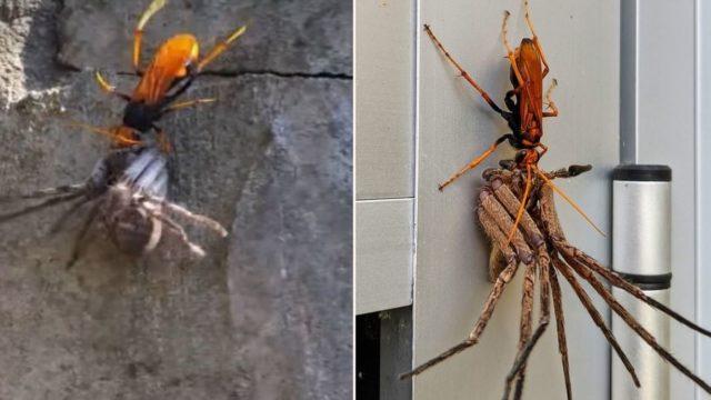 Ozzy match-up: Tarantula Hawk Wasp takes on a Huntsman Spider