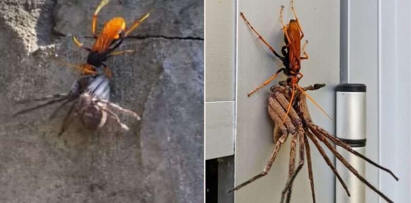 Ozzy match-up: Tarantula Hawk Wasp takes on a Huntsman Spider