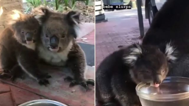 These bloody legends helped terrified koalas with nice cool drink during heatwave