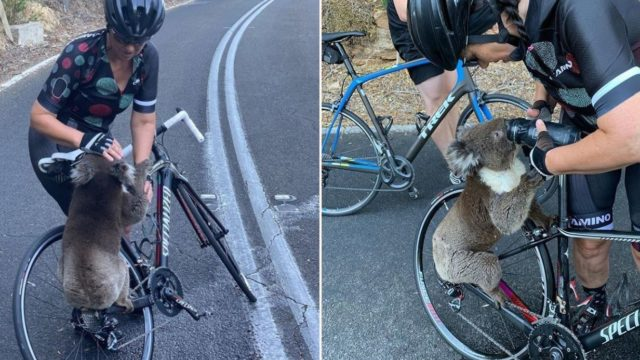 Desperate and dehydrated koala flags down cyclist for a drink