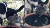 Legendary dog shares his water with thirsty koala!