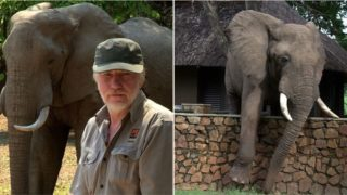 Elephant caught carefully climbing over wall in a remarkably human way
