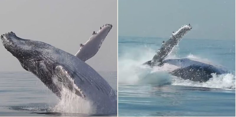 This epic bloody video showed 40 tonne Whale leaping completely out of water