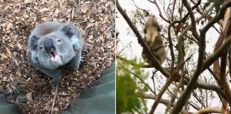People have only just learned how bloody strange Koalas sound