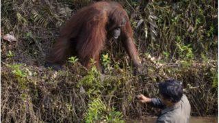 Top bloody orangutan offers helping hand to park ranger