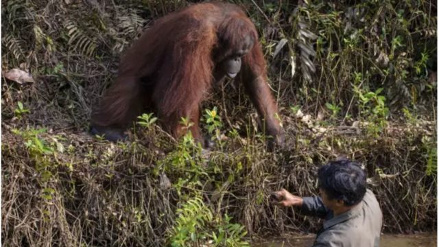 Top bloody orangutan offers helping hand to park ranger
