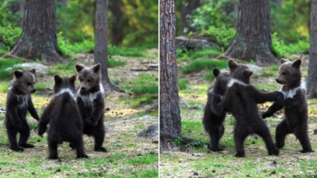 Finnish bloke somehow managed to photograph these bear cubs dancing in the wild