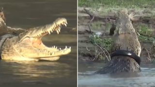 A reward has been offered to remove this tyre from a massive crocodile's neck!