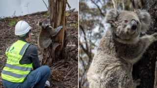 Koalas are finally returning to wild after Ozzy bushfires
