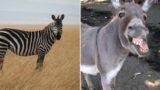 Zebra has a baby zonkey after getting frisky with a donkey