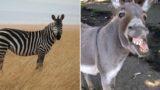 Zebra has a baby zonkey after getting frisky with a donkey