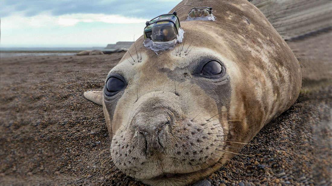 Seal-cam reveals squid escape predators by f@#*en dazzling them with light