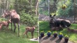 Bloke documents how Moose and Calves spent a day in his backyard