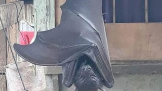 "Photo of a human-sized Filipino bat has left the Internet ""horrified"""