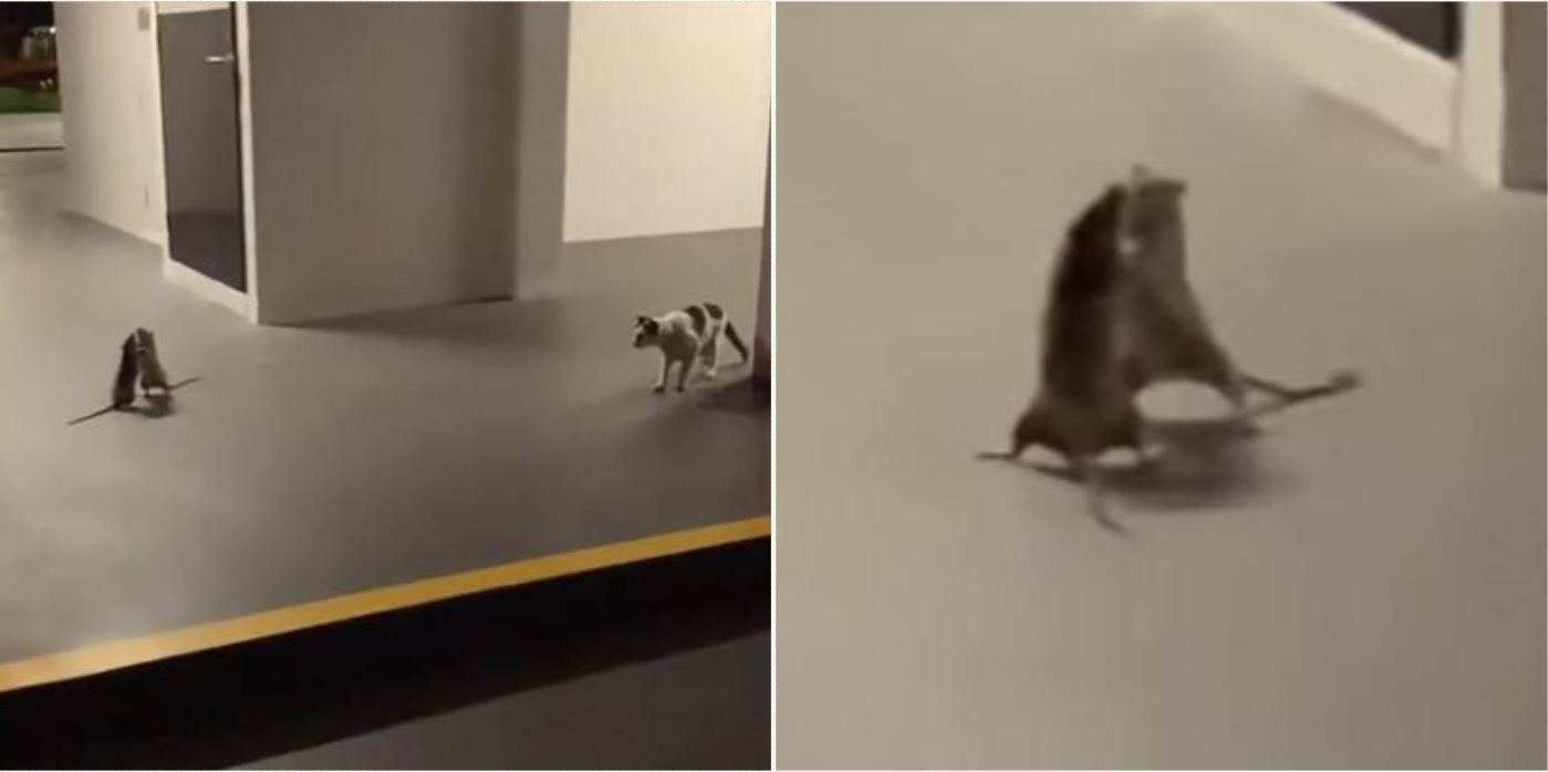 Video shows cat sitting and watching two rats fighting in Singapore