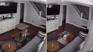 Legend dog caught on camera dragging bed to sick brother