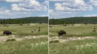 Sheila tries to 'play dead' after tripping while running from charging bison