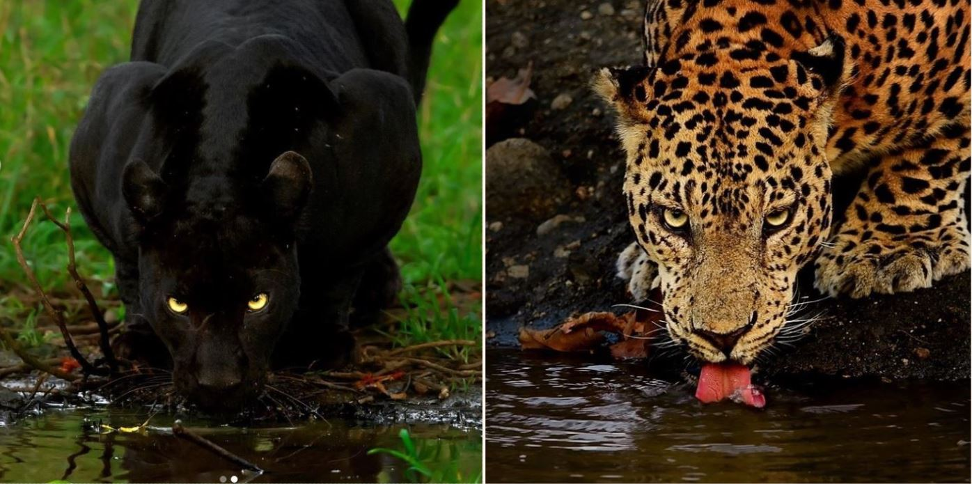 One in a million pic of leopard and panther together has gone gangbusters online
