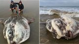 One of the world's biggest and rarest sea creatures washes up on an Australian beach