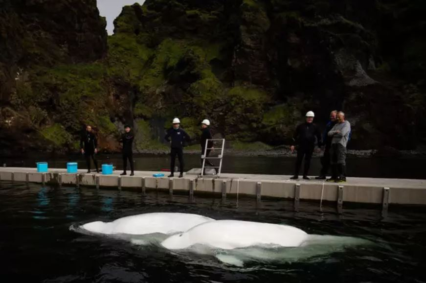 Two Beluga whales have been caught smiling while being rescued from animal performing show