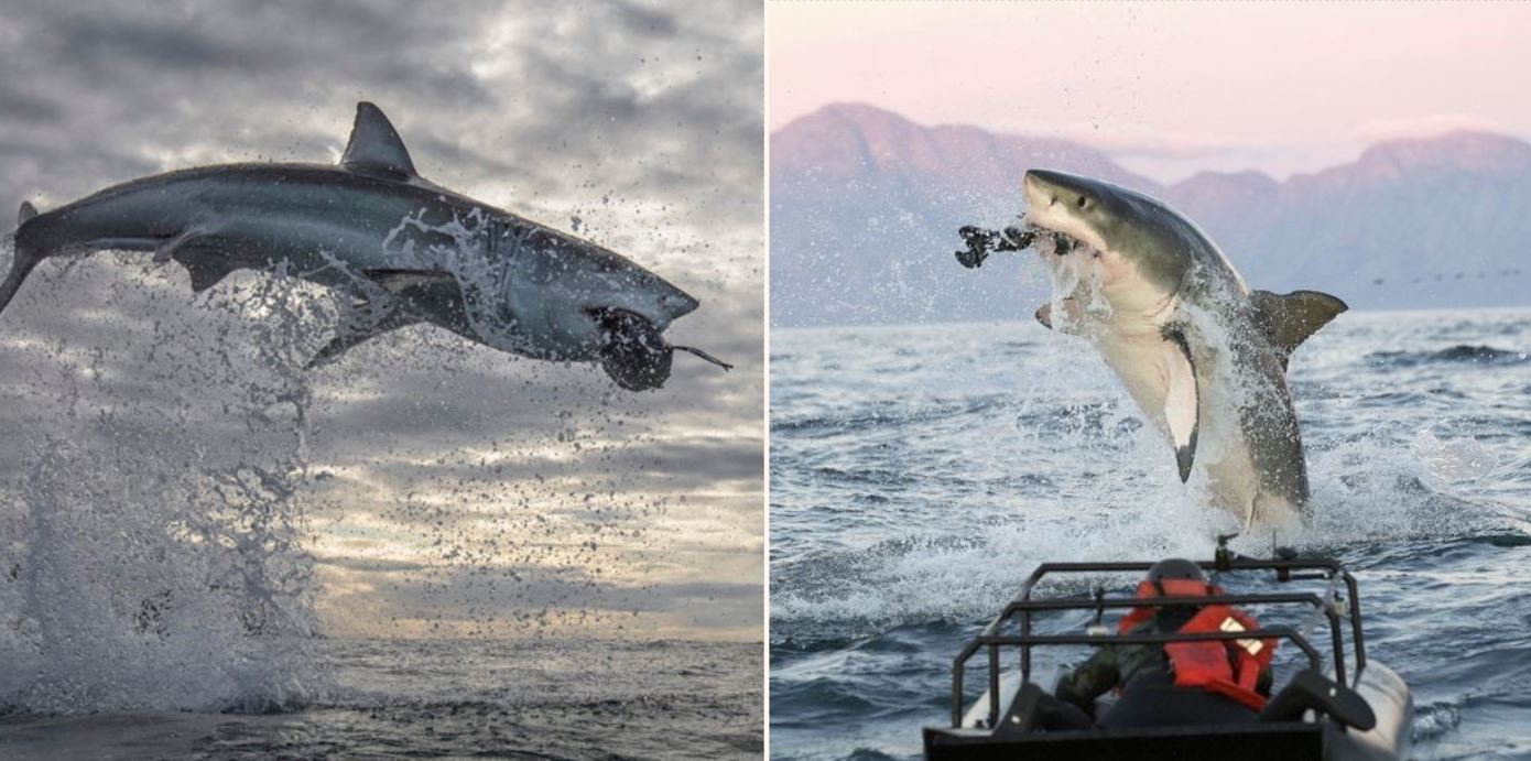 Great White Shark leaps 5 metres out of the air, highest ever seen