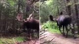 Unique camera angle shocks internet with how big bloody moose can get