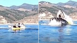 Footage captures the moment a humpback whale flips kayakers over