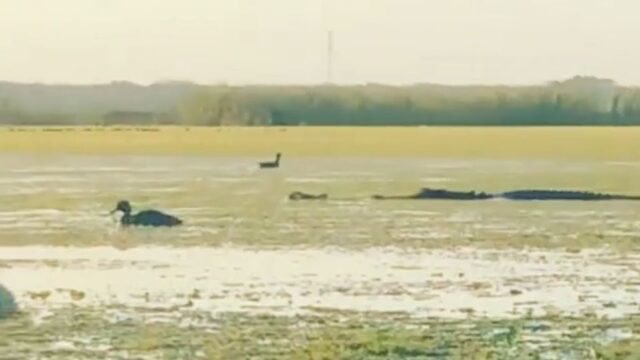 "Huge 4m alligator says ""yeah nah"" and steals duck from hunters"