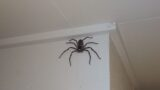 Aussie bloke's been living with this humongous spider for the last year