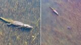 The moment a bull shark comes face to face with a croc in Oz