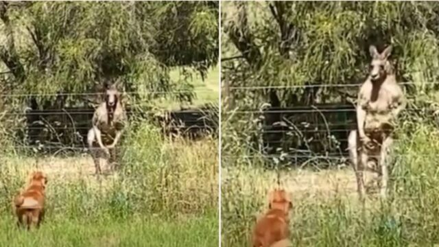 Moment bloody swole kangaroo flexes and stares down annoying barking dog