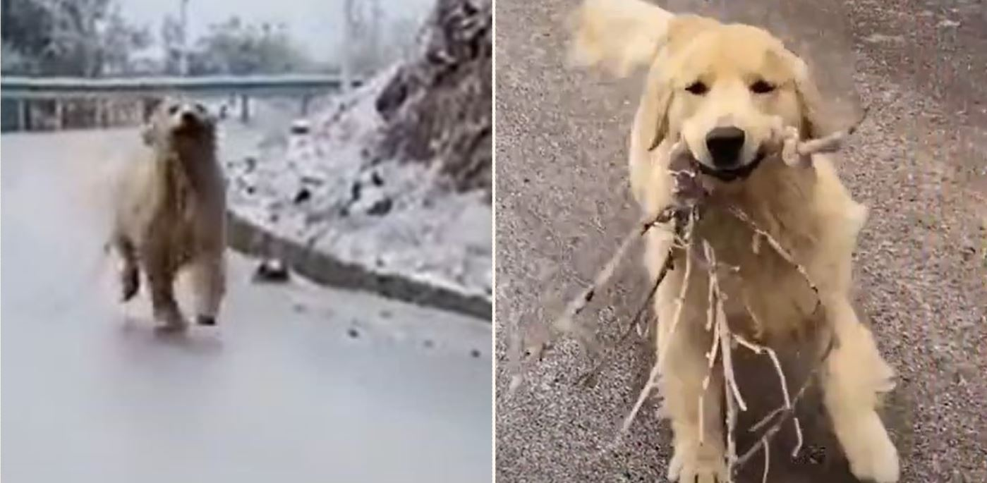 Golden Retriever fetches stick on icy road – the results are good value