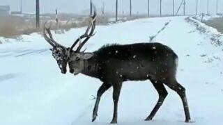 Footage captured of deer wearing another deer's skull