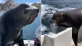 Cheeky Sea-Lion chases down speed boat to steal ALL the fish