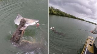 Cheeky croc steals shark off fisherman's line in Western Australia
